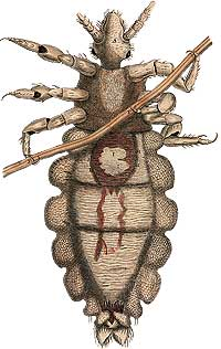 Illustration of a louse.