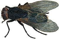 Illustration of a fly.